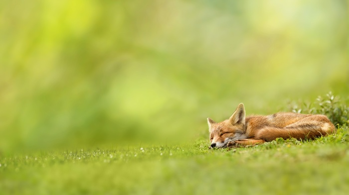 mammals, landscape, depth of field, grass, nature, sleeping, green, wildlife, field, fox
