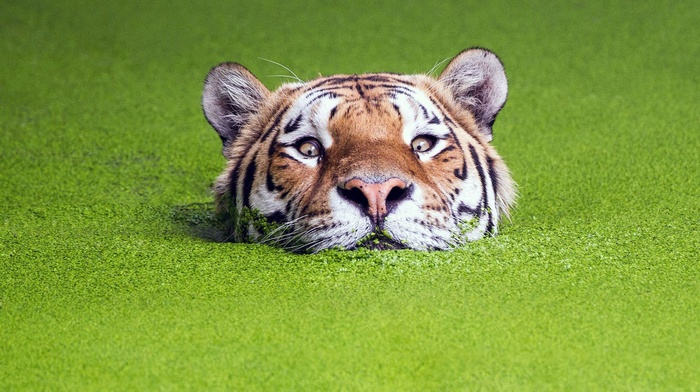 animals, green, water, nature, tiger, depth of field, muzzles