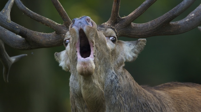 nature, muzzles, depth of field, deer, open mouth, animals, fur, antlers