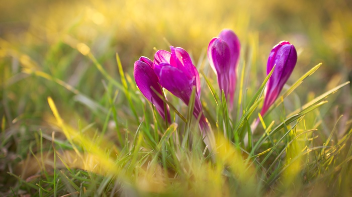 grass, crocuses, sunlight, plants, flowers, nature, purple flowers