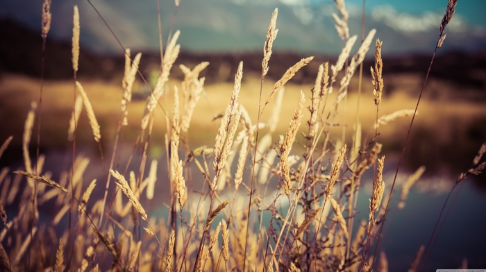 wheat, spikelets, plants, nature, depth of field, macro