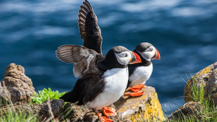 animals, landscape, nature, birds, sea, grass, puffins, coast