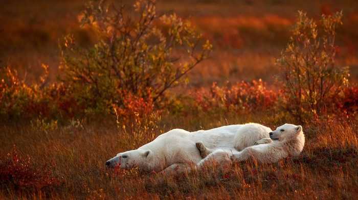 grass, field, polar bears, global warming, baby animals, nature, sad, animals, plants