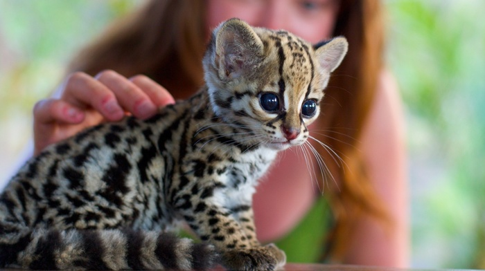 animals, baby animals, cat, Ocelots