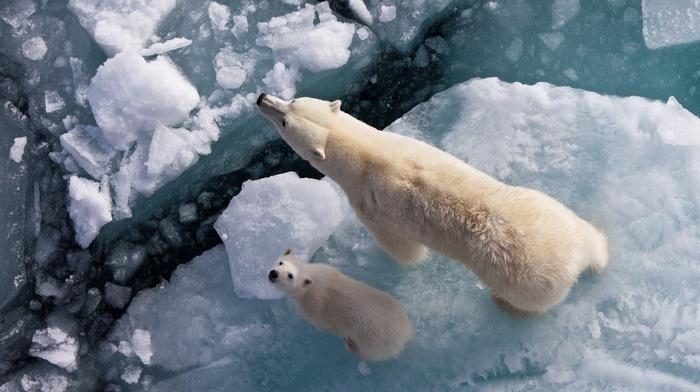 polar bears, baby animals, ice, animals