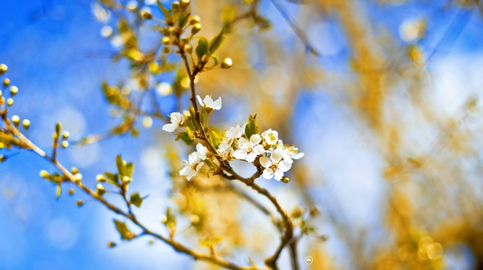 white flowers, flowers, blossoms, depth of field, twigs