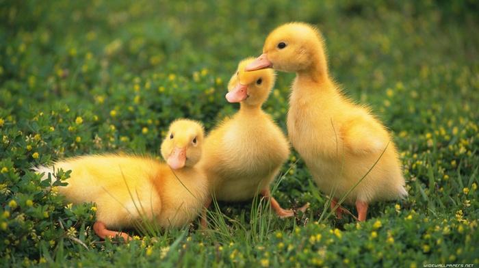 birds, duck, baby animals