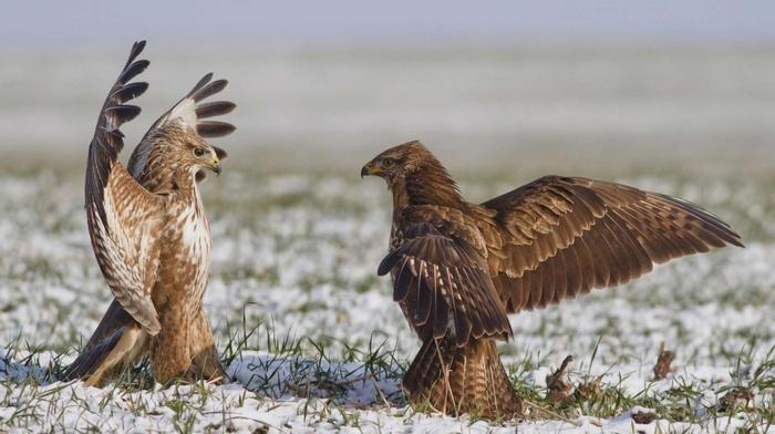 grass, eagle, birds, snow