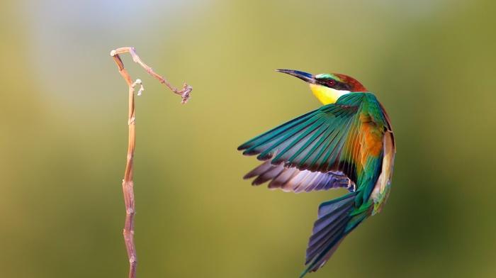 twigs, bee, eaters, birds
