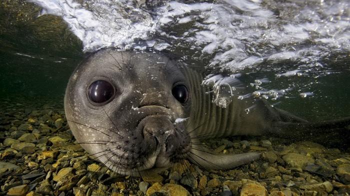muzzles, eyes, animals, water, nature, seals, moustache, sea, bubbles, swimming, underwater, stones, closeup