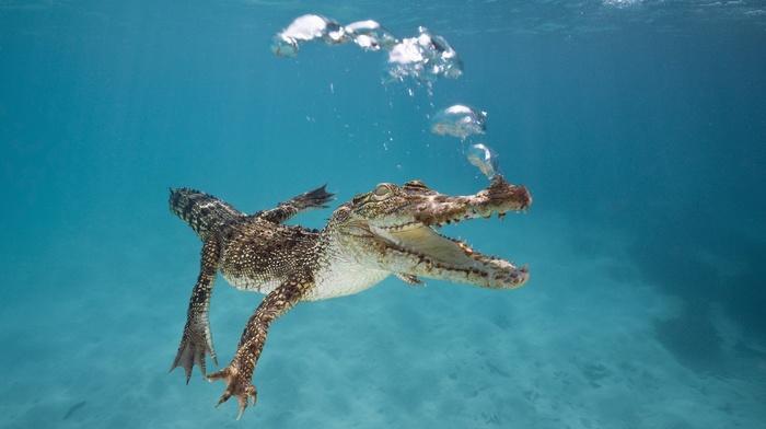 swimming, underwater, water, nature, alligators, sea, bubbles