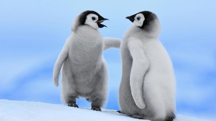 baby animals, penguins, birds, animals
