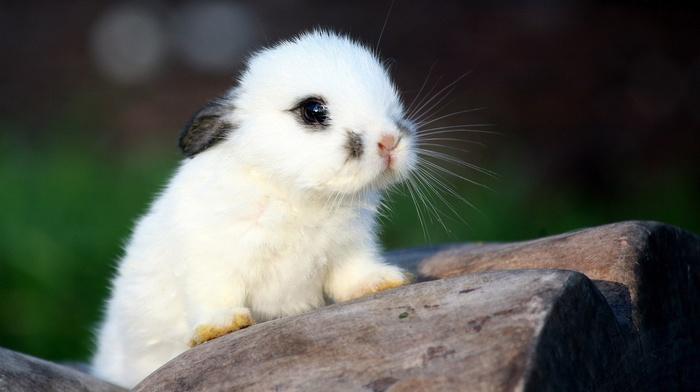 nature, baby animals, rabbits