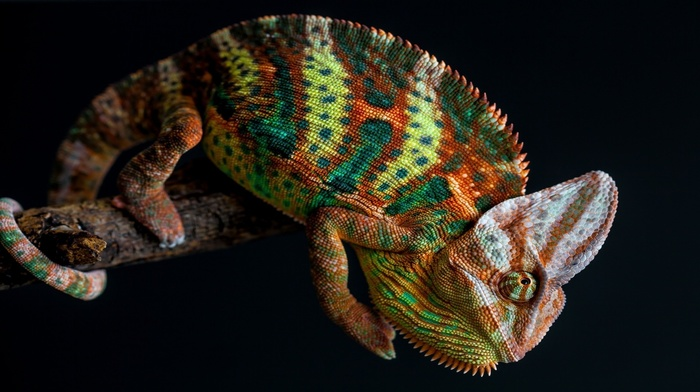 skin, tail, simple background, chameleons, nature, colorful, animals, branch