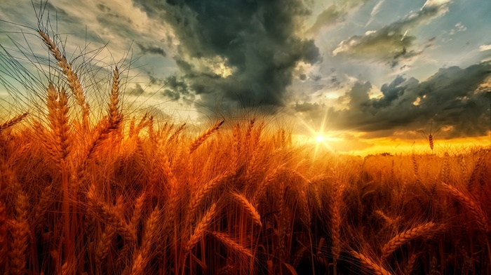 wheat, field, clouds, yellow, nature, sunset, orange, landscape