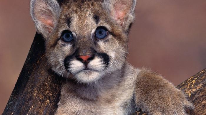 pumas, animals, blue eyes, baby animals