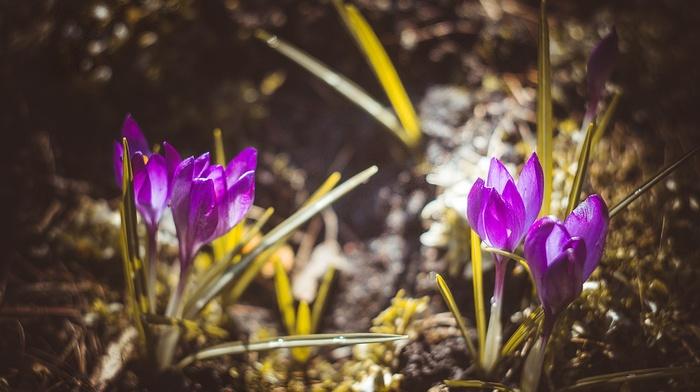 Latvia, nature, crocuses, purple flowers, vignette, flowers, plants, bokeh