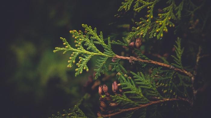 plants, Latvia, conifer, nature, vignette