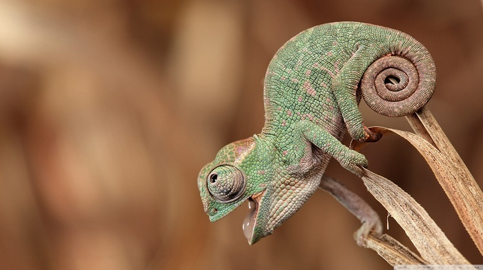 reptile, closeup, animals, chameleons, nature