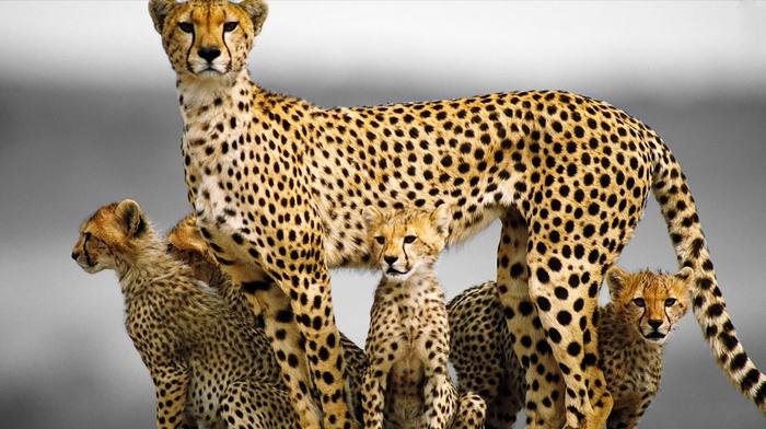 cheetahs, baby animals, animals