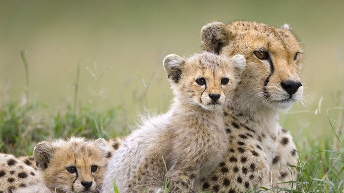 baby animals, cheetahs, animals