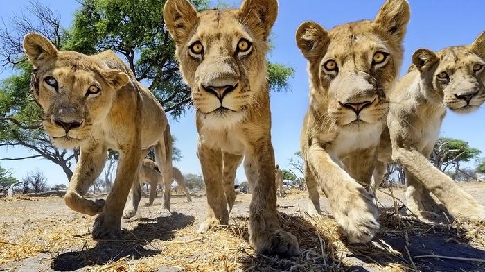 nature, lion, wildlife, trees, animals, big cats, Africa