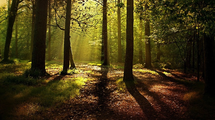 forest, leaves, trees, nature, shadow, sunlight, wood, branch, mist