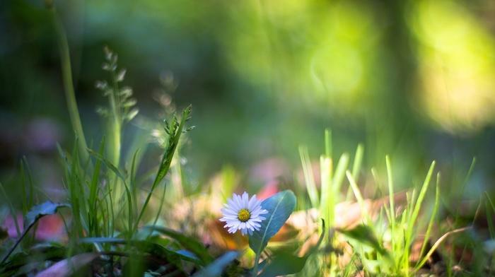 nature, chamomile, flowers, bokeh, daisies, grass, plants