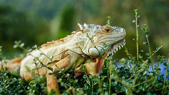 animals, chameleons