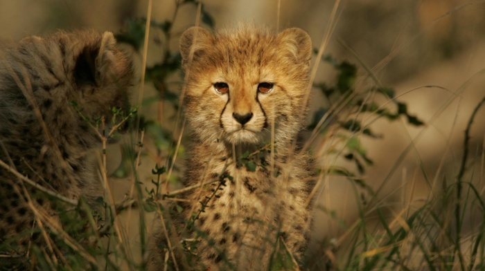 animals, baby animals, leopard