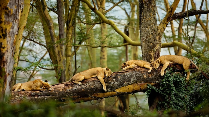 trees, lion, sleeping, animals, nature, Africa, big cats