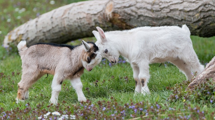 baby animals, nature, goats, animals