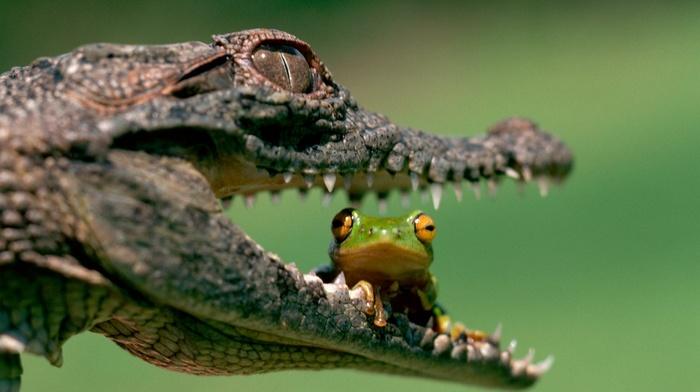 depth of field, amphibian, muzzles, eyes, reptile, frog, macro, danger, crocodiles, animals, teeth, nature