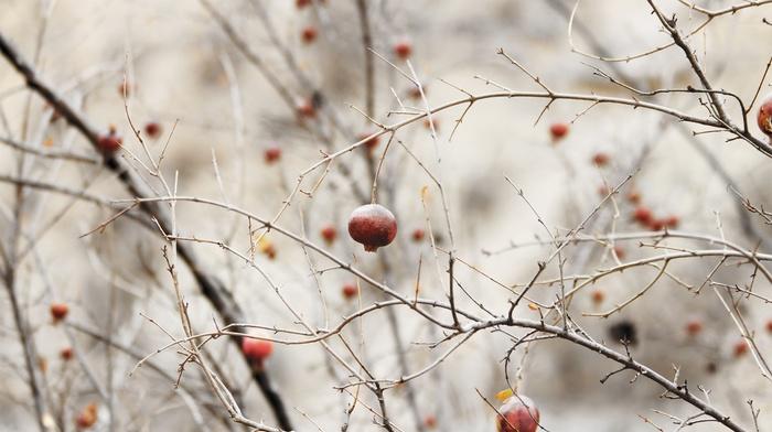 pomegranate, nature, depth of field, twigs, minimalism