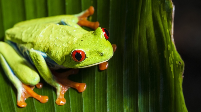 frog, animals, macro, red, Eyed Tree Frogs, amphibian, nature