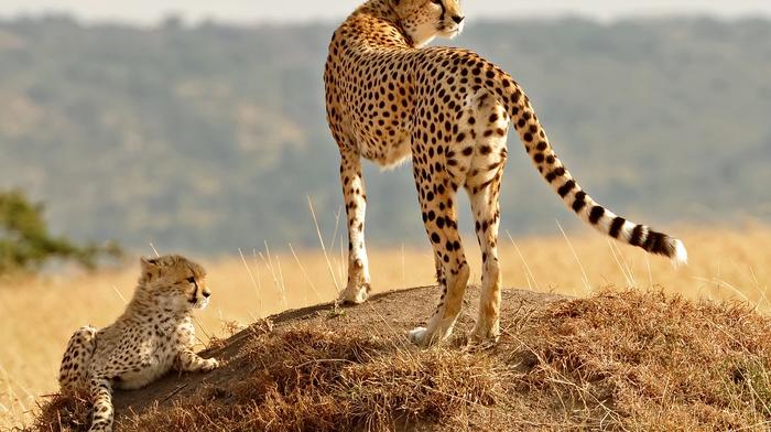 animals, baby animals, nature, cheetahs