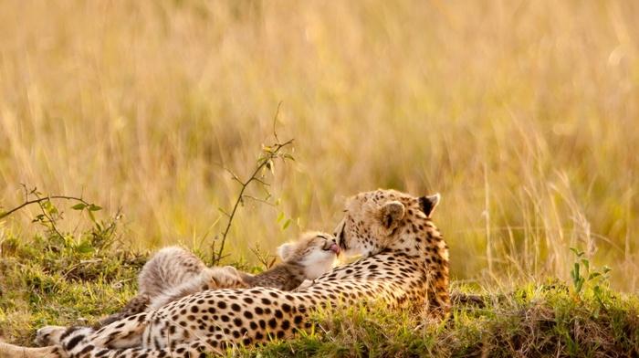 cheetahs, nature, animals, baby animals, wildlife