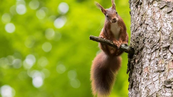 animals, squirrel, bokeh, nature