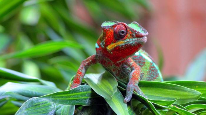 reptile, chameleons, nature, animals, wildlife