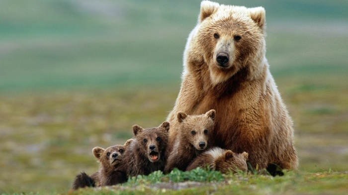 baby animals, grizzly bears, nature, grass, field, depth of field, animals, bears