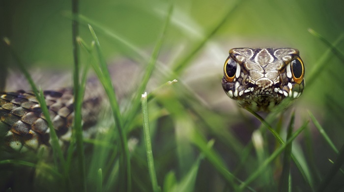 snake, macro, animals, nature, reptile, depth of field, skin, eyes, grass