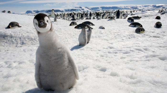 birds, nature, penguins, snow, baby animals, animals, wildlife