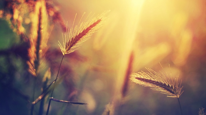 wheat, sunlight, nature, blurred, bokeh