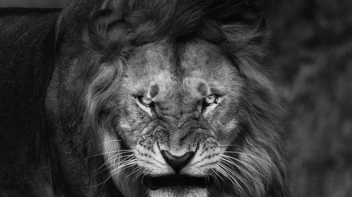 Fury, angry, nature, king, lion, big cats, portrait, animals, monochrome