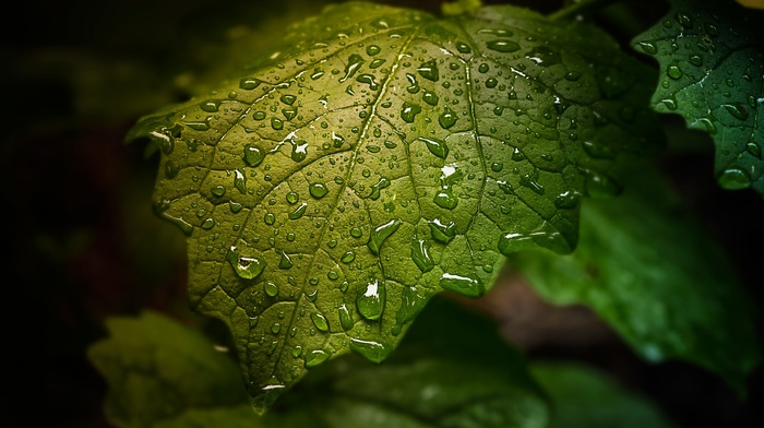 plants, dew, nature, sheet, leaves, water, green