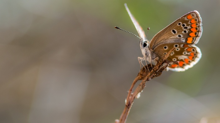 butterfly, insect, nature, macro
