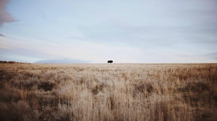 buffalo, sky, wheat