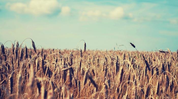 wheat, sky