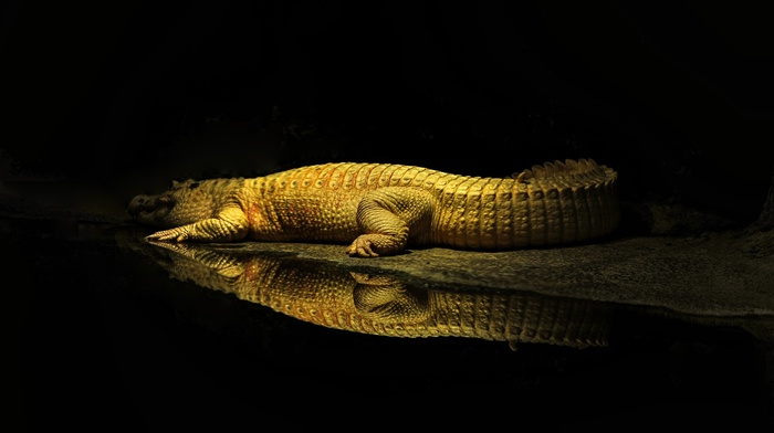 sun rays, wildlife, rest, crocodiles, water, reptile, animals, reflection, yellow