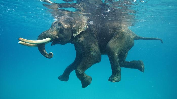 water, animals, nature, elephants, swimming, underwater, blue, tusk, reflection